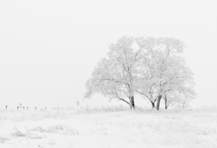 lumine puu
